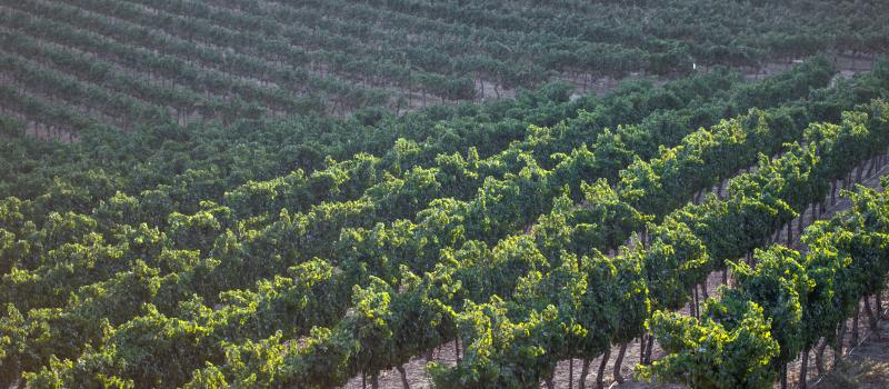 Vineyards in Israel